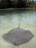 Stingrays in Shallow Lagoon  Moorea  French Polynesia  South Pacific
