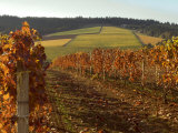 Fall Colors Over the Knudsen Vineyard  Willamette Valley  Oregon  USA
