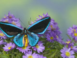 The Birdwing Butterfly
