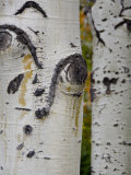 Aspen Tree Trunks  Vail  Colorado  USA