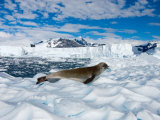 Crabeater Seal Resting  Western Antarctic Peninsula  Antarctica