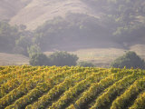Vineyard in northern California  Sonoma  California  USA