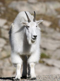 Mountain Goat  Mount Evans  Rocky Mountains  Colorado  USA