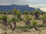Vineyard along the San Vicente to Banos de Ebro Road  La Rioja  Spain