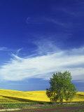 Cottonwood and Canola fields  Whitman County  Washington  USA