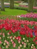 Tulip Garden  Keukenhof Gardens  Lisse  Netherlands  Holland