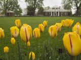 Tulips in Garden of Monticello  Virginia  USA
