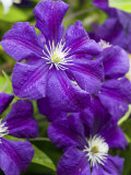 Purple Clematis in Full Bloom