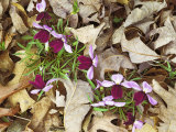 Birdfoot Violets and White Oak Leaves  Mark Twain National Forest  Missouri  USA