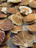 Display of Fresh Scallops  Venice  Italy