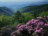 Blue Ridge Mountains Catawba Rhododendron  Blue Ridge Parkway  Virginia  USA