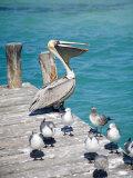 Pelican  Isla Mujeres  Quintana Roo  Mexico