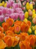 Keukenhof Gardens  Lisse  Netherlands