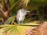 Juvenile Black-Crowned Night-Heron  Santee Lakes  San Diego  California  USA
