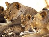 Lion cub among female lions  Samburu National Game Reserve  Kenya