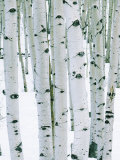 Fir in Aspen grove  Dixie National Forest  Utah  USA