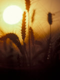 Silhouettes of Wheat Plants at Sunset