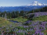 Meadows with Mt Rainier in distance  Washington Mt Adams Wilderness  USA