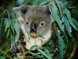 Koala Eating  Rockhampton  Queensland  Australia