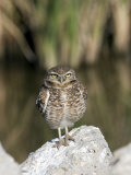 Burrowing Owl  Salton Sea Area  Imperial County  California  USA