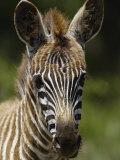 Baby Burchell's Zebra  Lake Nakuru National Park  Kenya