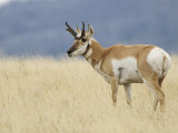 Pronghorn Standing in Grass  Yellowstone National Park  Wyoming  USA