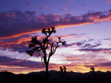 Joshua Tree at Sunset  California  USA