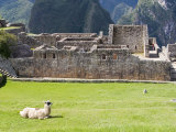 Llama Resting on Main Plaza  Machu Picchu  Peru