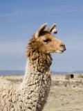 Llama Posing near Puno  Peru