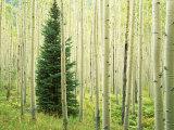 Silver FIr in Aspen Grove  White River National Forest  Colorado  USA
