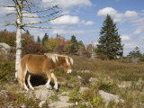 Wild Pony in Grayson Highlands State Park  Virginia  USA