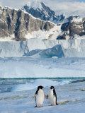 Adelie Penguins  Western Antarctic Peninsula  Antarctica