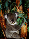 Koala on Eucalyptus  Featherdale Wildlife Park  Sydney  Australia