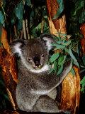 Koala on Eucalyptus  Featherdale Wildlife Park  Sydney  Australia