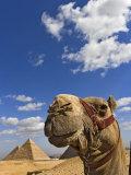 Camel and Pyramids Of Giza  Egypt