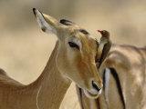 Female Impala with Red-billed Oxpecker  Samburu Game Reserve  Kenya