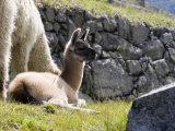 Newborn Llama Resting on Main Plaza  Machu Picchu  Peru