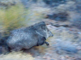 Collared Peccary  Catavina Mountains  Tucson  Arizona