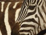 Burchell's Zebra pattern of stripes  Ngorongoro Crater  Tanzania
