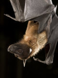 Giant Fruit Bat