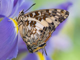 Savannah Charaxes Butterfly on Iris Flower