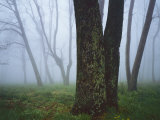 Fog in forest  Shenandoah National Park  Virginia  USA