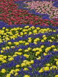 Pattern of tulips and Grape Hyacinth flowers  Keukenhof Gardens  Lisse  Netherlands