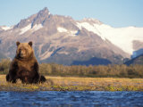 Brown Bear Stretching  Katmai National Park  Alaska  USA