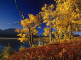 Autumn Cottonwoods  St Mary Lake  Glacier National Park  Montana  USA