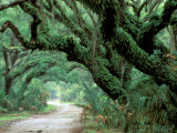 Live Oak and Ferns  Cumberland Island  Georgia  USA