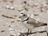 A Piping plover  Long Beach in Stratford  Connecticut  USA