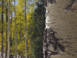 Aspen Trees in Fall  Uncompahgre National Forest  Colorado  USA