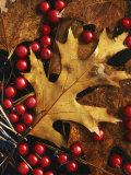 Hawthorn berries and Black Oak leaf  Spokane County  Washington  USA