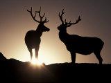 Elk  Rocky Mountains National Park  Colorado  USA
